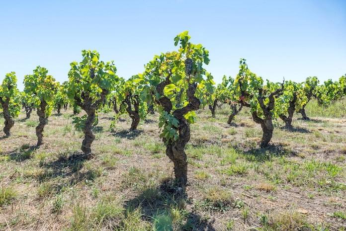 Menge-Güte-Gesetz: Alte Weinreben in einem Weingarten in Frankreich
