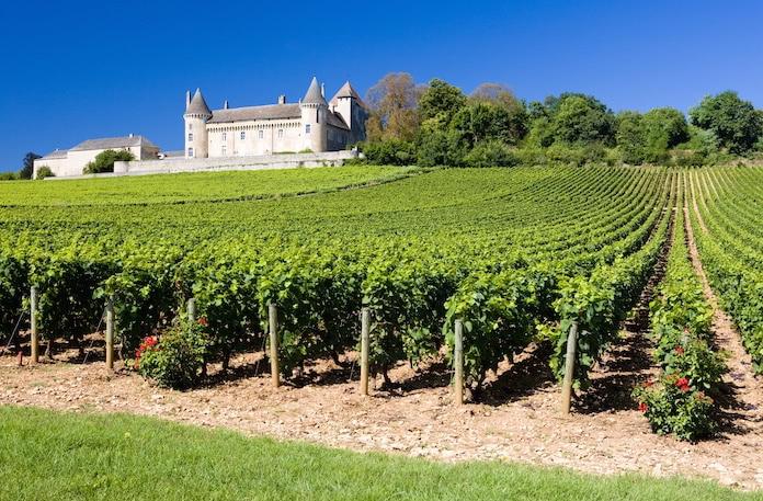 Dichte Rebzeilen in einem Weinberg in Frankreich.