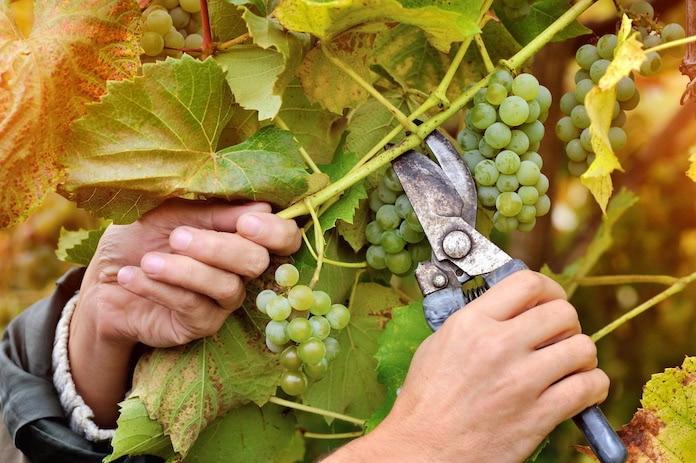 Überflüssige Weinblätter und Trauben werden mit einer Schere entfernt.