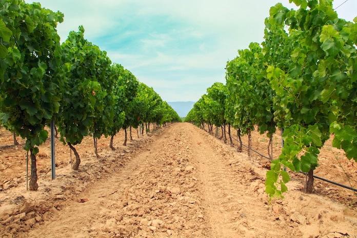 Menge-Güte-Gesetz: Zwei Reihen von Weinreben auf kargem und trockenem Boden