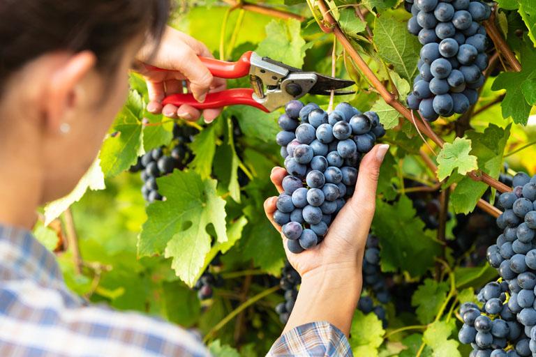 Ernte von reifen Pinot Noir Trauben