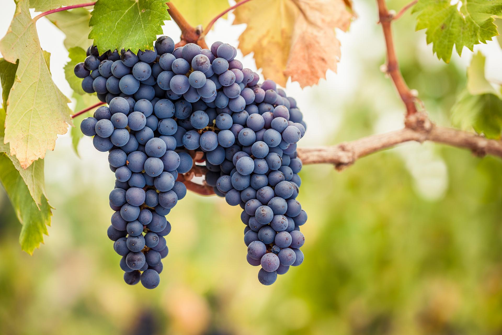 Pinot Noir - Spätburgunder Trauben am Rebstock mit Sonne im Hintergund