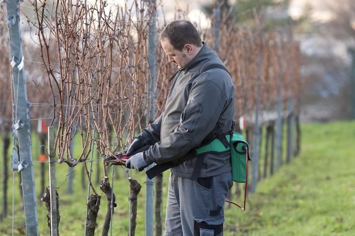 Winzer im winterlichen Weinberg beim Rebschnitt der Weinreben.