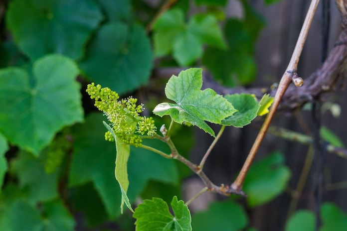 Blühende Weinrebe im Frühjahr vor dunklem Hintergrund